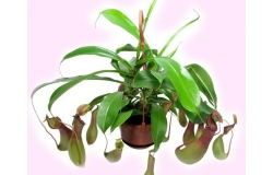 Como cuidar adequadamente para as Nepenthes flower