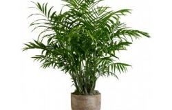 Houseplants hrizalidokarpus
