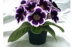 Houseplants: gloxinia