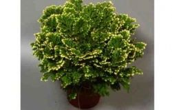 Houseplants: Selaginella