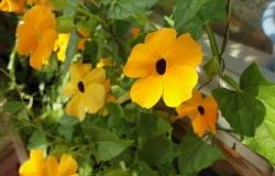 Thunberg (black-eyed Susan)