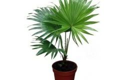 Vasos de plantas: palma Washingtonia