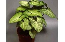 Houseplants: Syngonium
