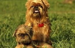 Brüsseler Griffon: Breed