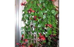 Houseplants: aeschynanthus