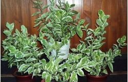 Houseplants: Pedilanthus
