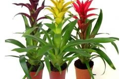 Houseplants: Gusman