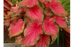 Houseplants: Caladium