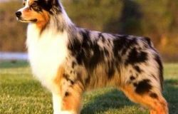 Australian Shepherd Collie