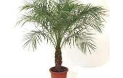 Houseplants: tamareira