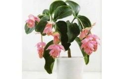 Houseplants: Medinilla