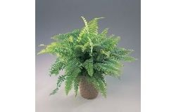 Houseplants: Nephrolepis