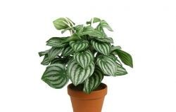 Houseplants: peperomia