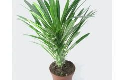 Houseplants: Pachypodium