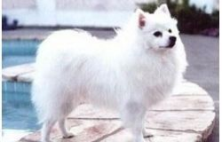Breed Mini American Eskimo Dog