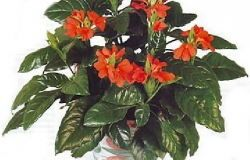 Houseplants crossandra