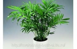 Houseplants: Chamaedorea
