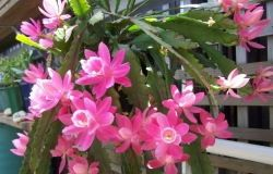 Houseplants: Epiphyllum