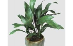 Houseplants: aspidistra