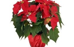 Houseplants: poinsettia