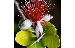 Houseplants: feijoa