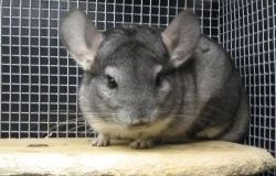 Haustier Chinchilla