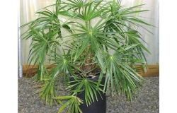 Potted Palm Livistona